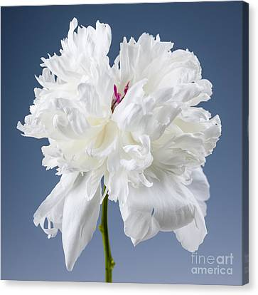 White Peony Flower Canvas Print