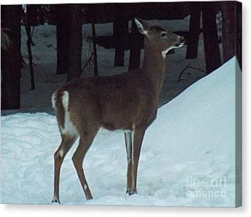 White Tail Deer Canvas Print by Brenda Brown