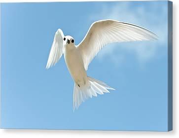 White Tern (gygis Alba Rothschildi Canvas Print