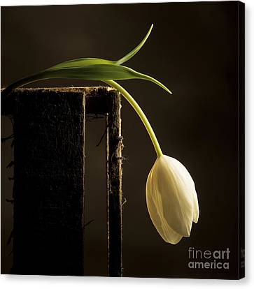 Wooden Box Canvas Print - White Tulip by Bernard Jaubert