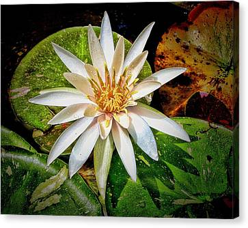 White Water Lily Canvas Print by Rudy Umans