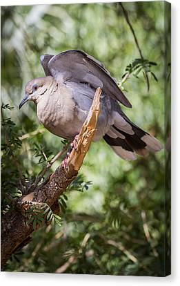 Canvas Print featuring the photograph White-winged Dove by Beverly Parks