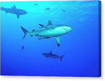 Whitetip Reef Sharks Over A Reef Canvas Print by Louise Murray