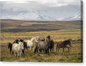 Wild Icelandic Horses Canvas Print