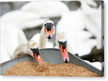 Wild Mute Swans Pinching Grain Canvas Print by Ashley Cooper