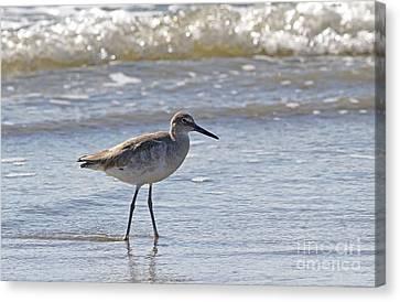 Willet Bird Wading In Ocean Surf Canvas Print
