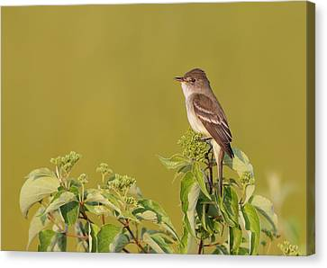 Willow Flycatcher Canvas Print