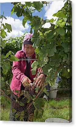 Grapevines Canvas Print - Wine Grape Harvest by Jim West