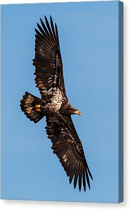Eagle In Flight Canvas Print - Wings by Angie Vogel