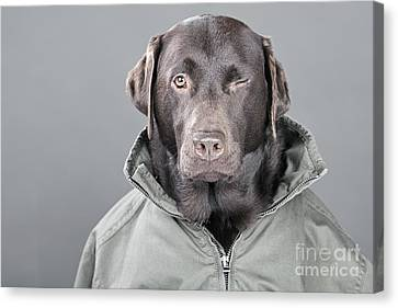 Winking Labrador Canvas Print by Justin Paget