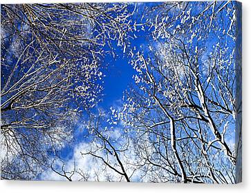 Winter Trees And Blue Sky Canvas Print by Elena Elisseeva