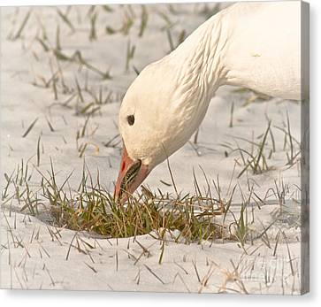 Wintering Snow Goose Canvas Print by Robert Frederick