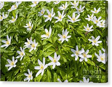 Wood Anemone Canvas Print by Design Windmill