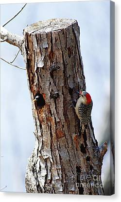Woodpecker And Starling Fight For Nest Canvas Print by Gregory G. Dimijian