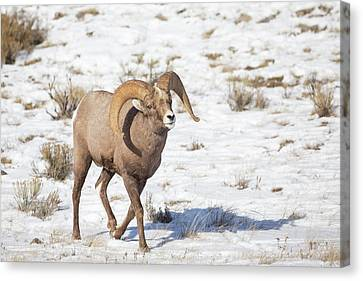 Wyoming, National Elk Refuge, Bighorn Canvas Print