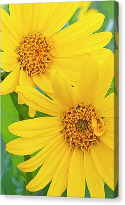 Wyoming, Sublette County, Close-up Canvas Print by Elizabeth Boehm