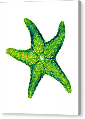 X-ray Of Starfish Canvas Print by Bert Myers