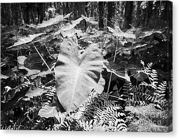 Xanthsoma Elephant Ear Plant Growing In Flooded Wetlands In Florida Usa Canvas Print