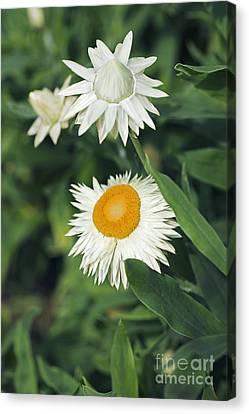 Xerochrysum Bracteatum Coco Canvas Print by Dr. Keith Wheeler