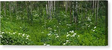 Yarrow And Aspen Trees Along Gothic Canvas Print by Panoramic Images