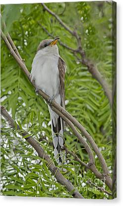 Yellow-billed Cuckoo Canvas Print by Anthony Mercieca