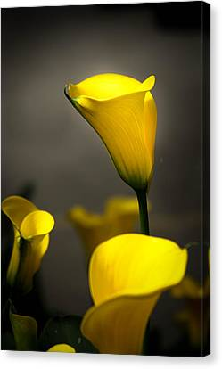 Yellow Calla Lilies Canvas Print by Menachem Ganon