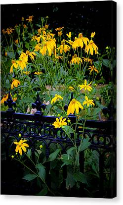 Yellow Coneflowers Echinacea Wrought Iron Gate  Canvas Print by Rich Franco