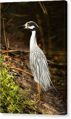 Yellow-crowned Night Heron Canvas Print by Rich Leighton