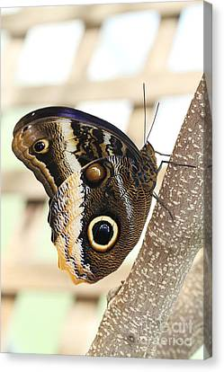 Yellow-edged Giant Owl Butterfly #4 Canvas Print by Judy Whitton