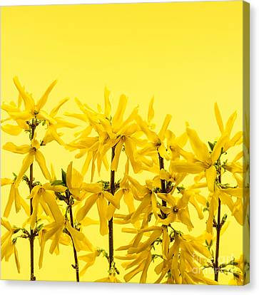 Yellow Forsythia Flowers Canvas Print by Elena Elisseeva