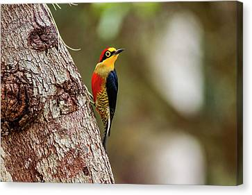 Yellow-fronted Woodpecker  Melanerpes Canvas Print by Leonardo Mer�on