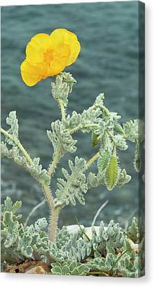 Yellow Horned Poppy (glaucium Flavum) Canvas Print by Bob Gibbons