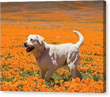 Yellow Labrador Retriever Standing Canvas Print by Zandria Muench Beraldo