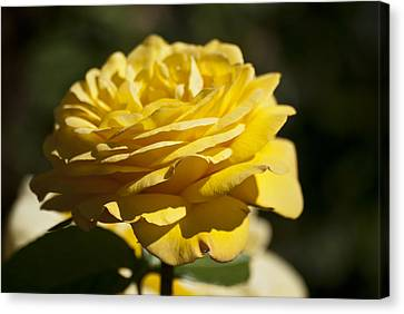 Yellow Rose Canvas Print by Steve Purnell