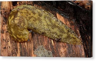 Slug Canvas Print - Yellow Slug by Nigel Downer