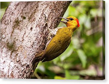 Yellow-throated Woodpecker Piculus Canvas Print by Leonardo Mer�on