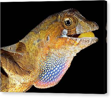Neotropical Canvas Print - Yellow-tongued Anole Displaying Dewlap by Dr Morley Read