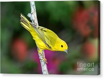 Yellow Warbler Dendroica Petechia Canvas Print