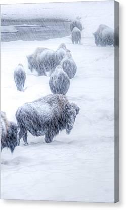 Yellowstone Bison Canvas Print by David Yack