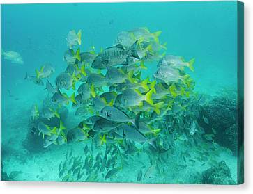 Yellowtail Grunt (anisotremus Canvas Print by Pete Oxford