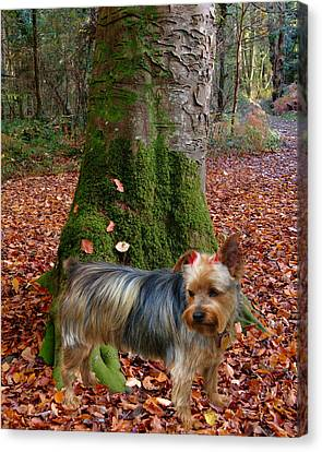 Yorkie Pose Canvas Print by Rick Friedle