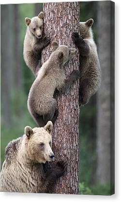 Young Bears Clinging To Tree Canvas Print