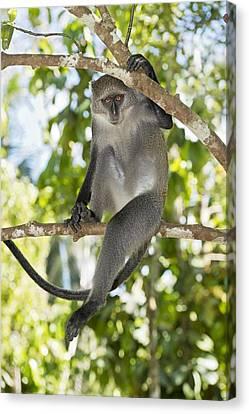 Zanzibar Sykes Monkey Canvas Print