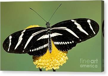 Zebra Longwing Butterfly Canvas Print by Millard H. Sharp