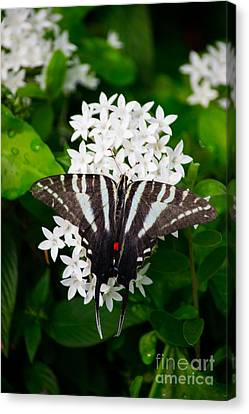 Zebra Swallowtail Canvas Print by Angela DeFrias
