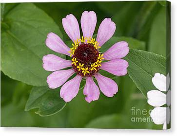 Zinnia Elegans Flower Canvas Print