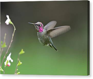 Anna's Hummingbird Canvas Print by Kathy King