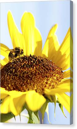 Bee On Flower Canvas Print by Les Cunliffe