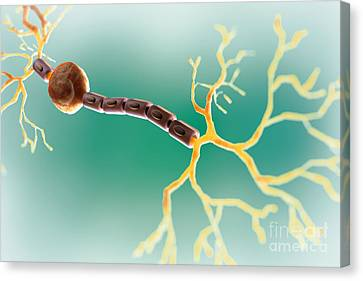 Bipolar Canvas Print - Bipolar Neuron by Science Picture Co