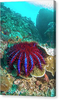 Crown-of-thorns Starfish Canvas Print by Georgette Douwma